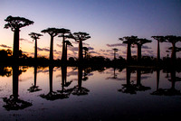 Baobabs at Night in Madagascar